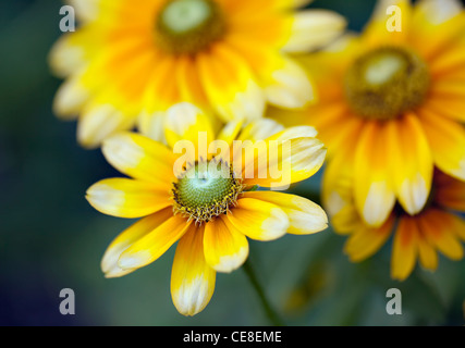 Black-Eyed, Susans (Rudbeckia hirta), close up Banque D'Images