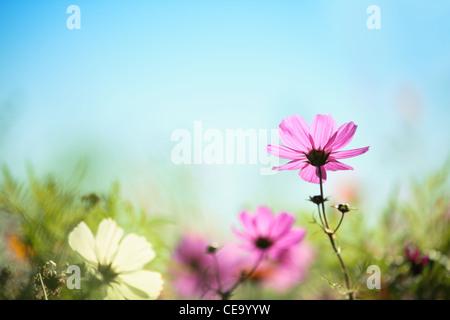 Gros plan du daisy rose contre le ciel bleu,fond naturel.
