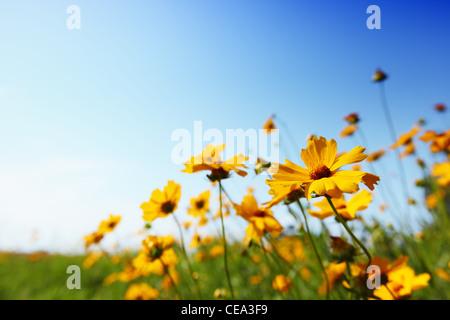 Marguerites jaunes sur fond de ciel bleu fond naturel