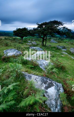 Lumière du soir sur les rochers et l'Aubépine Arbre à Combestone Tor, Dartmoor, dans le Devon, août 2011. Banque D'Images