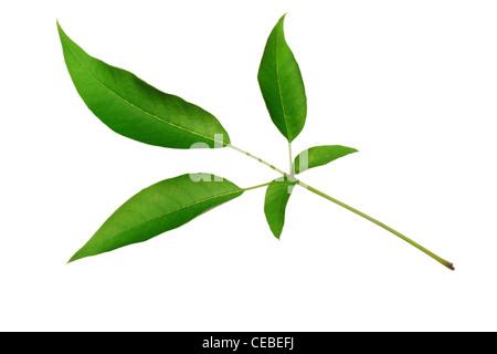 Cinq pétales feuilles vertes sur fond blanc Banque D'Images
