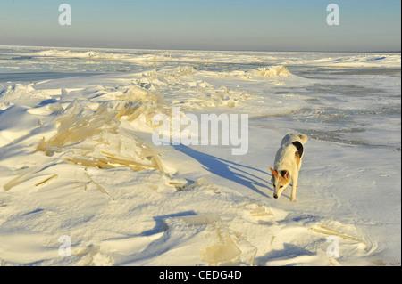 Chien dans l'hiver. Le chien va sur les traces de neige et renifle. Banque D'Images