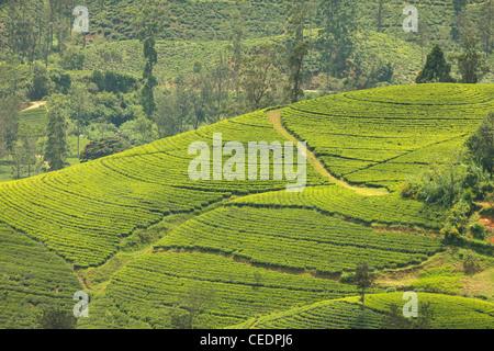 Hill Country plantation de thé sur les hauts plateaux du centre près de Nuwara Eliya, Sri Lanka, Asie Banque D'Images