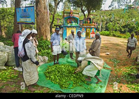 'Femmes' Tamouls des plantations l'ensachage pesage & thé Uva prisé par un temple près d'Ella dans les hauts plateaux Banque D'Images