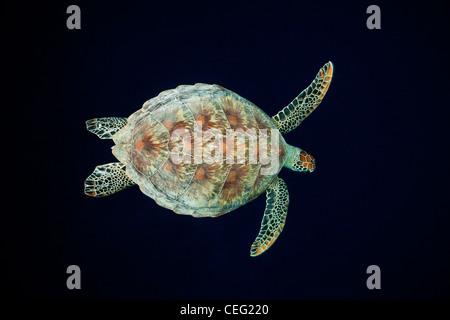 Tortue verte, Chelonia mydas, Baa Atoll, Maldives, océan Indien Banque D'Images