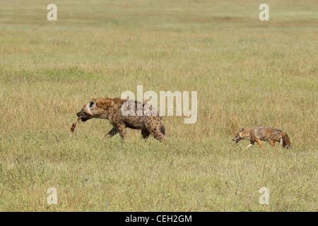 L'Hyène tachetée suivie par Jackal (Crocuta crocuta) Banque D'Images