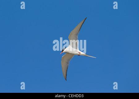 Sterne arctique (Sterna paradisaea) en vol, mer des Wadden, Allemagne Banque D'Images