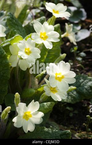 Primevère commune primevère Primula, anglais ou vulgaris fleurs dans la forêt en avril