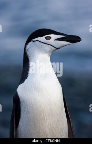 Jugulaire Penguin debout sur la plage dans l'Antarctique