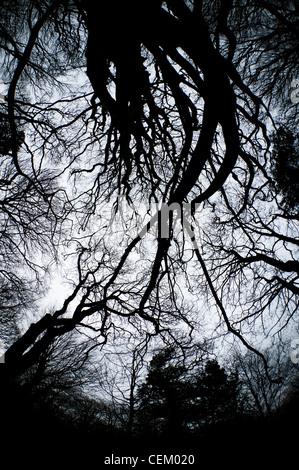 Regardant les branches dénudées des arbres au milieu de l'hiver dans la réserve naturelle du parc de poche Penglais, Banque D'Images