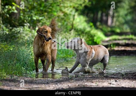 Golden retriever et labrador chiens jouer et courir avec stick par flaque boueuse dans chemin de forêt, Belgique Banque D'Images