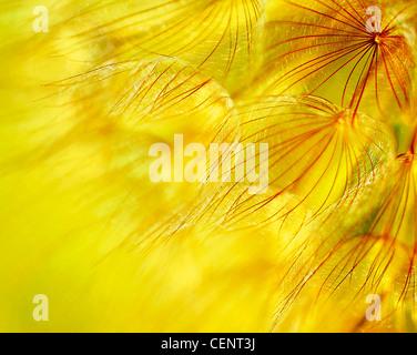 Résumé fond de fleurs de pissenlit, gros plan extrême avec soft focus, belle nature détails Banque D'Images