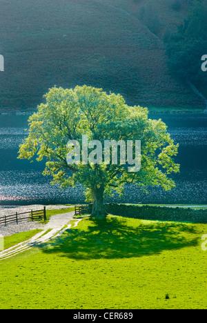 Un seul arbre de chêne sur le rivage à Buttermere en Cumbria. Banque D'Images