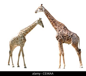Deux girafes isolé en fond blanc. Banque D'Images