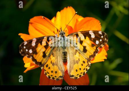 Grand papillon sur une fleur orange Banque D'Images