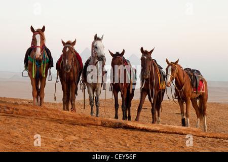 Les chevaux au désert près de pyramides de Gizeh, Egypte Banque D'Images