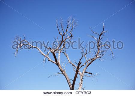 Les branches des arbres nus morts contre ciel bleu clair en Arizona Banque D'Images
