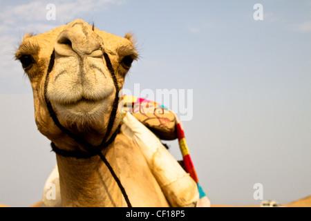 Le dromadaire se reposer pendant un safari dans le désert du Sahara, près de Marsa Alam, Egypte Banque D'Images