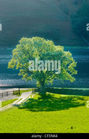 La lumière du soleil de fin de soirée attrape un lone Oak tree sur le rivage à la lande. Banque D'Images