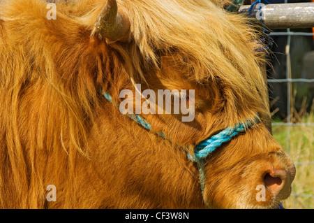 Gros plan de la tête d'une vache Highland sur spectacle au Rosedale & District Produits agricoles, horticoles et Banque D'Images