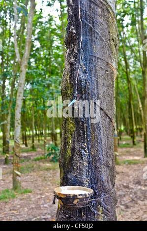 Sap de la collecte d'arbre à caoutchouc, Vietnam Banque D'Images