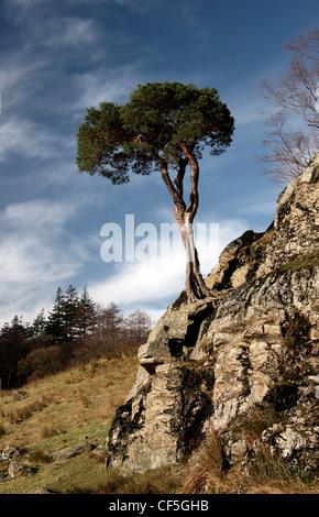 Un arbre isolé sur un affleurement rocheux. Buttermere signifie le lac par les producteurs laitiers de pâturages. Banque D'Images