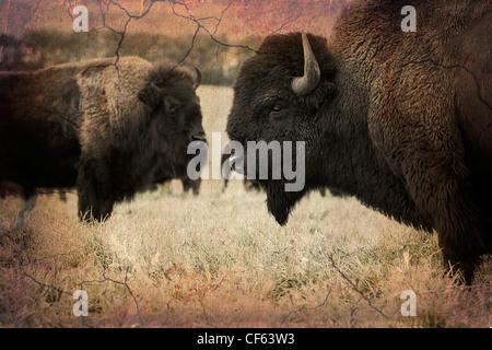 Le bison des plaines, de l'Alberta, Canada. Banque D'Images
