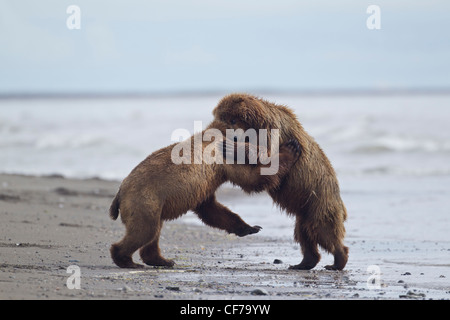L'ours brun d'Alaska fighting on beach in Lake Clark National Park Banque D'Images