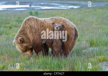 Mère de l'ours brun d'Alaska avec cub dans Lake Clark National Park Banque D'Images