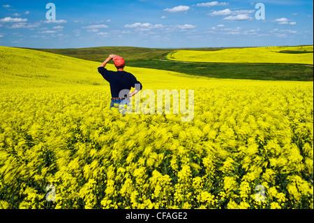 Un homme donne sur un stade de la floraison le vent champ de canola, près de Lake Alma, Saskatchewan, Canada Banque D'Images