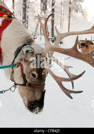 Le renne de Noël sur l'arrière-plan d'une forêt d'hiver