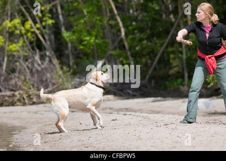 Woman throwing stick dog beach Labrador jaune Banque D'Images