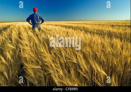 Un agriculteur donne sur sa récolte mûre prêt de la récolte d'orge, avec près de Carey, Manitoba, Canada Banque D'Images