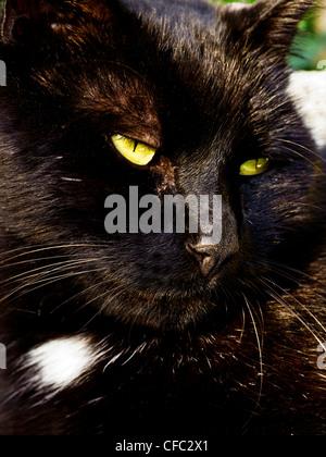 Chat, chat de maison, Felis silvestris, Felis catus, housecat, tom, chat mâle, tomcat, tom-chat, animal, mammifer, predator, carnivo