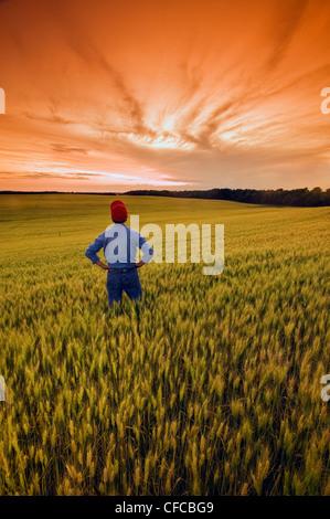 Un homme donne sur un champ de blé à maturité, près de Treherne, Manitoba, Canada Banque D'Images