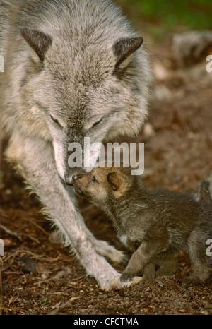 Mère, le loup (Canis lupus), accueille le pup, 2,5 semaines, près de la forêt den, Montana, États-Unis d'Amérique Banque D'Images