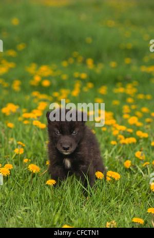Petit loup (Canis lupus), l'âge de 4 semaines, au printemps, les pissenlits avec prairie, Montana, États-Unis d'Amérique Banque D'Images