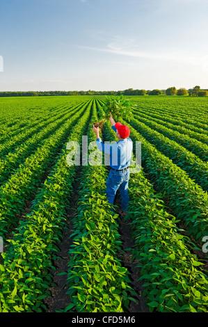 Un homme vérifie un champ de soja de croissance moyenne, Manitoba, Canada Banque D'Images
