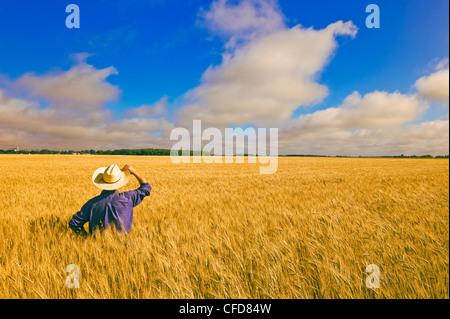 Un homme donne sur le blé de printemps de maturation près de Dugald (Manitoba), Canada Banque D'Images