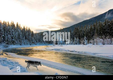 Le loup (Canis lupus), l'est de la rivière Blaeberry, British Columbia, Canada