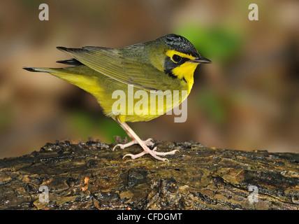 Paruline du Kentucky (Oporornis formosus) Récupération d'eau à l'île haute, Texas, États-Unis d'Amérique Banque D'Images