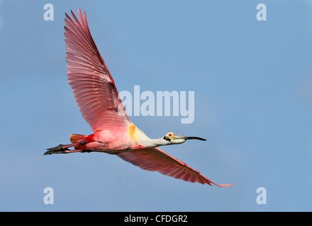 Roseate Spoonbill (Ajaja ajaja) - High Island, Texas, United States of America Banque D'Images