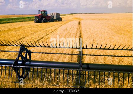 Une coupe de coupe de la moissonneuse-batteuse de blé au cours de la moisson du blé de printemps, près de Lorette, Banque D'Images