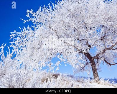 Arbre couvert de givre, contre ciel bleu clair. Winnipeg, Manitoba, Canada. Banque D'Images