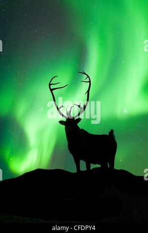 Bull Caribou Rangifer tarandus silhouetté