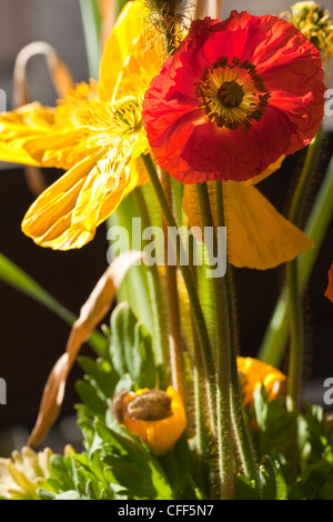 Close-up of flowers: Papaver (Coquelicot)