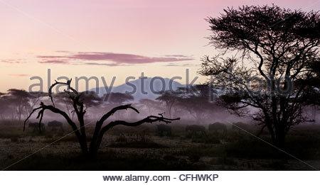 White-Gnou barbu qui migrent par Acacia à l'aube, Serengeti, Tanzanie Banque D'Images