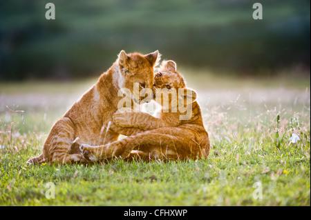 L'African Lion cubs environ 4 mois cub jouer ensemble, Grand Marais, Ngorongoro, en Tanzanie