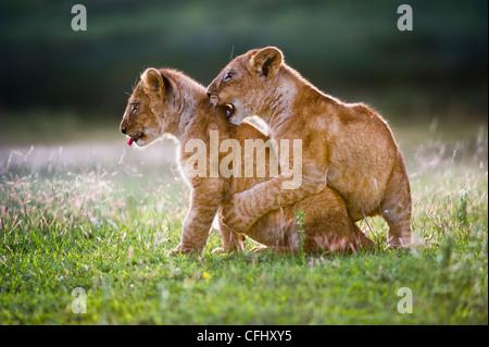 L'African Lion cubs environ 4 mois cub jouer ensemble, Grand Marais, Serengeti, Tanzanie