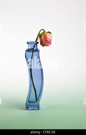 Le Flétrissement Rose rouge dans un vase de verre bleu Banque D'Images
